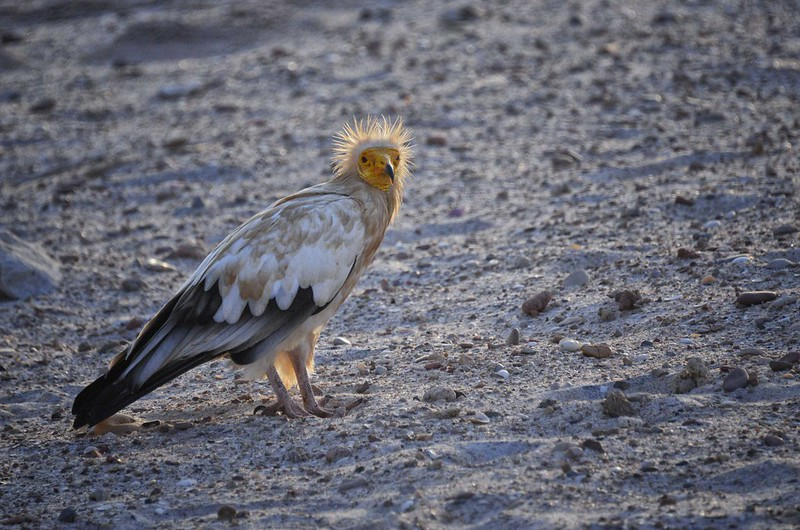Egyptian Vulture, Socotra Is, Yemen