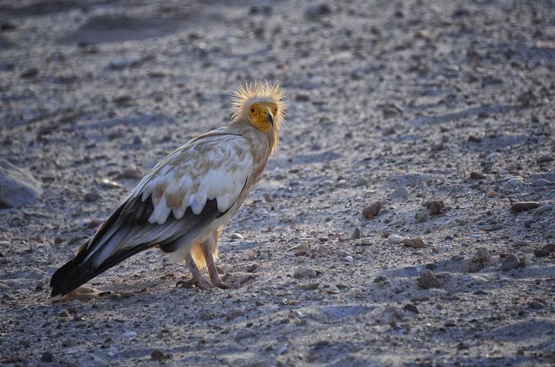 Egyptian Vulture, Socotra Is, Yemen