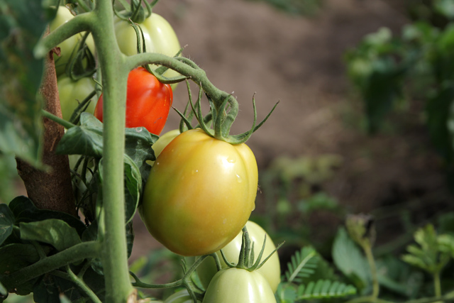 No chemicals go into these tomatoes!