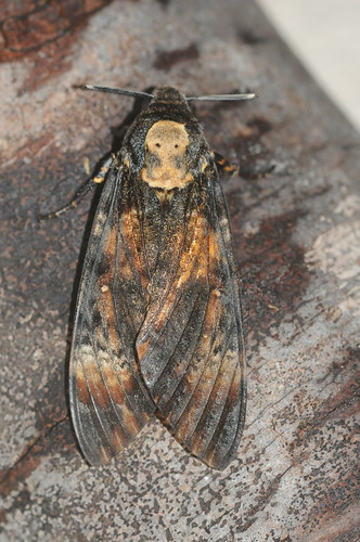 1973 Death's-head Hawk-moth Acherontia atropos