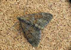 1768 Grey Pine Carpet - Thera obeliscata