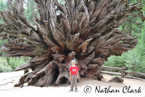 Big Root Ball - Mariposa Grove