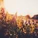 Summergold by Manuel Gutjahr