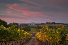 Fall Vineyard and Sunset