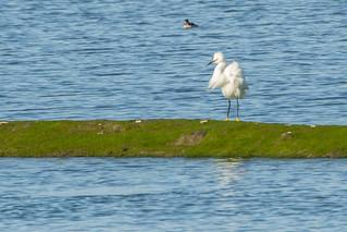 Ruffled Snowy Egret