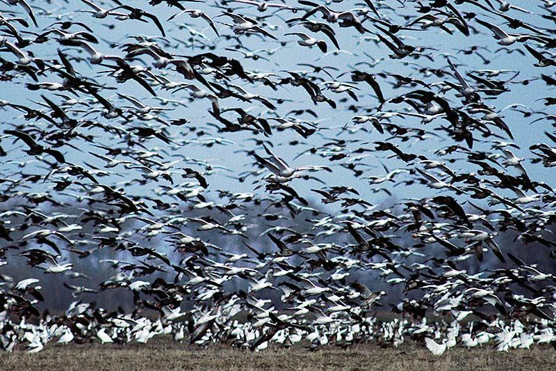 Wildlife in British Columbia, Canada: Snow Goose / Blue Goose