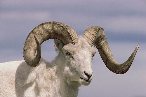 Wildlife in British Columbia, Canada: Dall Sheep