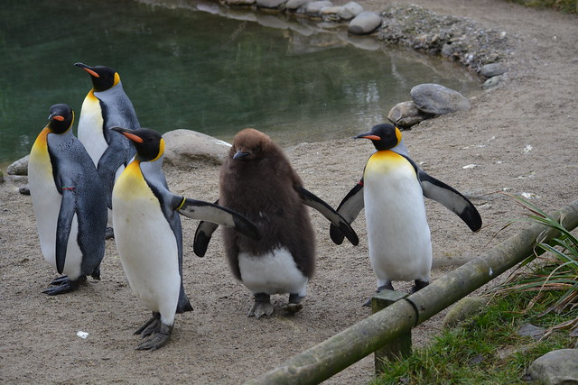 King Penguins with Chick, Zurich Zoo