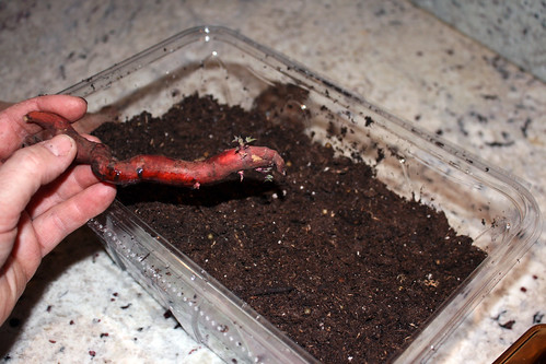 planting sprouted sweets 057