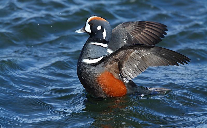 Harlequin Duck drake
