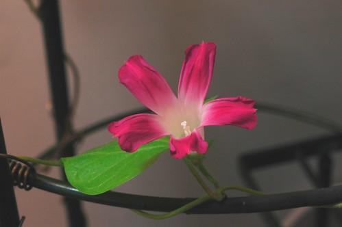 Japanese Asagao - Ipomoea purpurea Q1181 by Gerris2