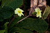 _MG_2645 Primrose (Primula vulgaris) by ajmatthehiddenhouse