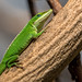 Carolina Anole - Food Dish Survivor - Hummingbird House - San Diego Zoo by SARhounds