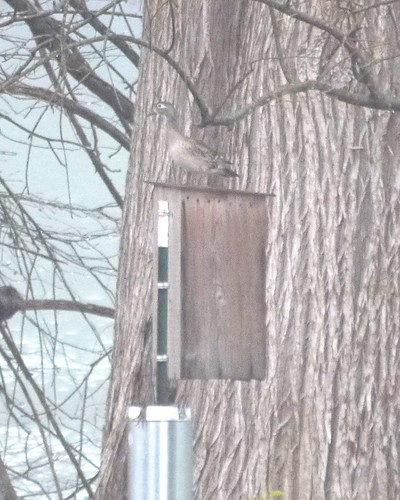 Wood Duck on Nest Box