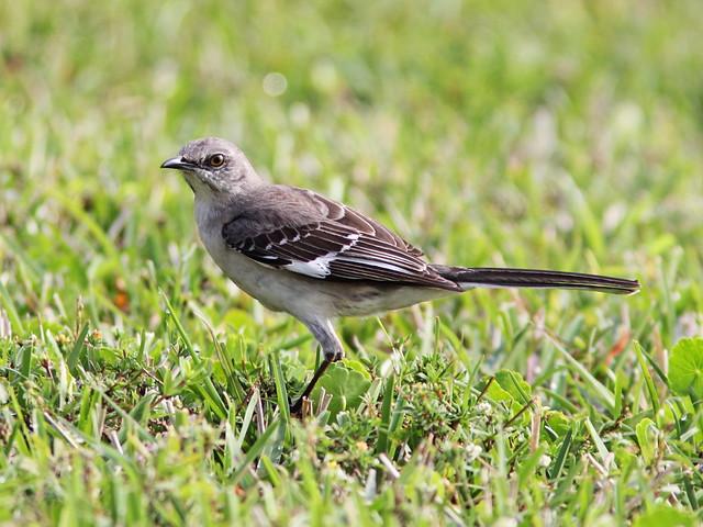 Northern Mockingbird 20140320