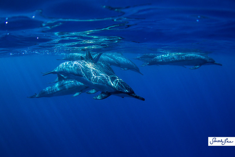 hawaii_underwater_dolphins_017.jpg