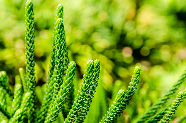 Close up on the pine leaves