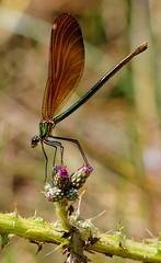 Calopteryx virgo femelle - Calopteryx vierge femelle