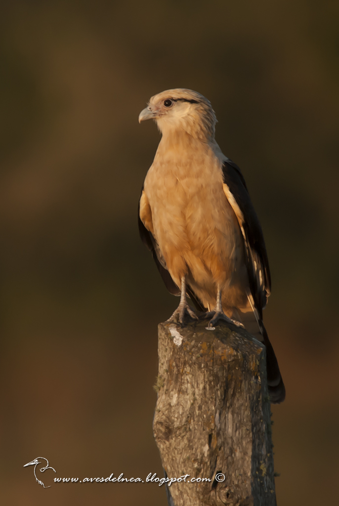 Chimachima (Yellow-headed Caracara) Milvago chimachima