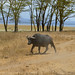 Small photo of Large African Buffalo