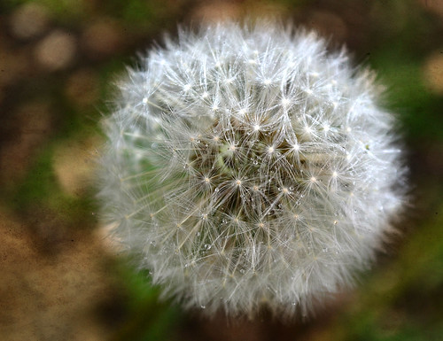 dandelion.  EXPLORED.