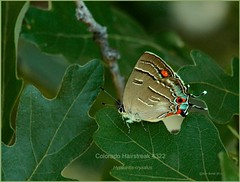 Colorado Hairstreak Butterfly photography by Ron Birrell, DSC_4322