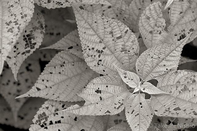 虫に食われた葉 / eaten leaves