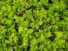 annual plant, shrub, flower, leaf, plant, herb, green, groundcover,