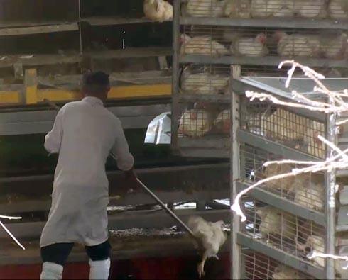 זוגלובק - תרנגול מפונה באמצעות מוט מתכת