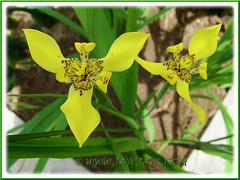 Trimezia steyermarkii (Yellow Walking Iris) at the outer bed, Sept 16 2013