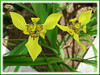 Trimezia steyermarkii (Yellow Walking Iris, Traveling Iris)