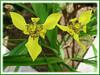 Trimezia steyermarkii (Yellow Walking Iris, Traveling Iris)