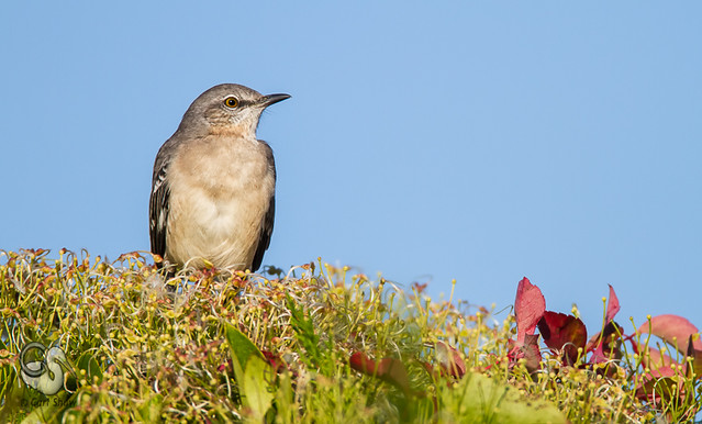 Northern Mockingbird-4592-4E.jpg