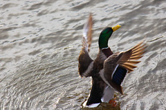 Duck in the Speed River
