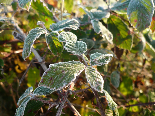 frosted blackberry leaves