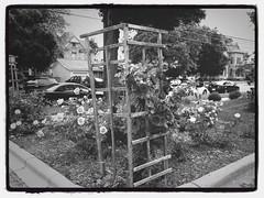 Flower Garden June 11, 2013 3