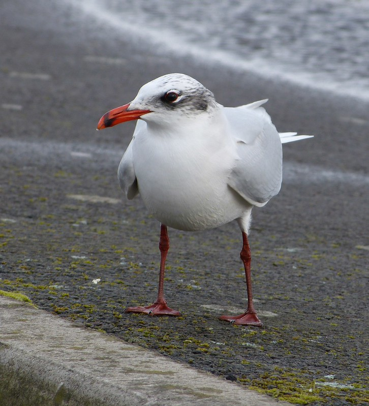P1060783 - Mediterranean Gull, Bracelet Bay