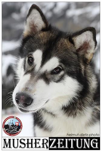Swiss Alaskan MalamuteWSA WC 2014, Kandersteg - helmut-dietz-photo/Musherzeitung.de