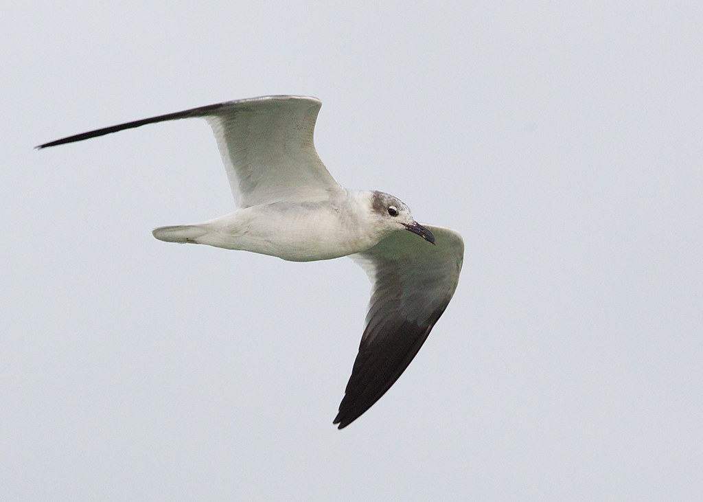 Laughing Gull 2014-01-30