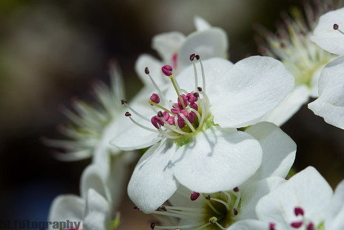 Flowering Pear Tree 1
