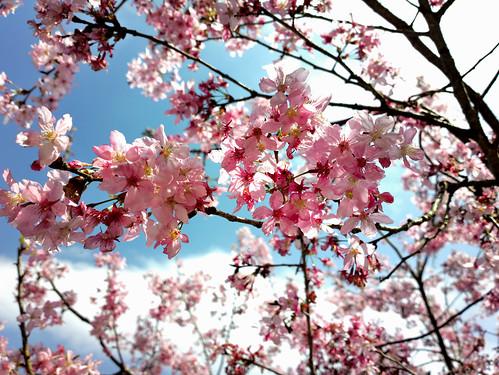 Cherry Flower 藍天白雲花飛