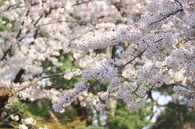 東京春景色 谷中上野お花見散歩 2014年4月1日