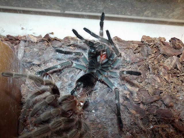 Molting G. rosea A