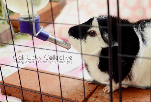 A Glass or Plastic Water Bottle for Your Guinea Pig?