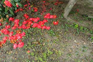 Cemetery of camellia.