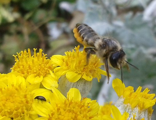 A leafcutter bee and a small insect of some description on a Senecio cineraria plant.
