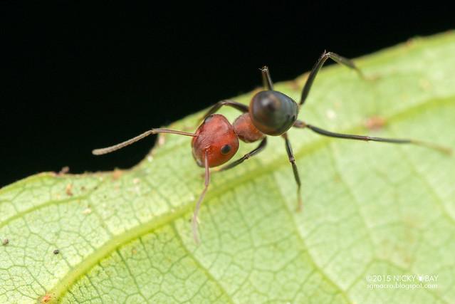 Ant (Calomyrmex sp.) - DSC_5558