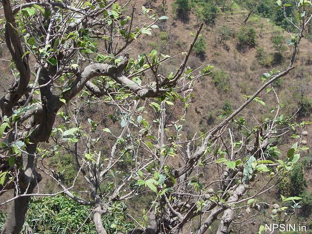 Rudraksh Tree near Shri Neelkanth Mahadev Mandir