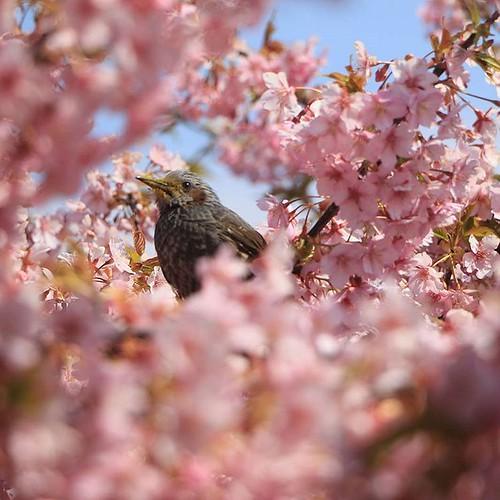 春が来た その2。  愛知県の渥美半島では河津桜や菜の花が満開。 桜の花の蜜を求め、メジロやヒヨドリがやってきます。  今回は桜の花の中にいるヒヨドリをパシャリ。  #カメラ #canon #春 #桜 #野鳥 #愛知 #渥美半島 #田原