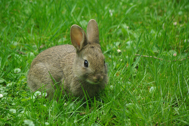 Cute wild baby bunny | Flickr - Photo Sharing!